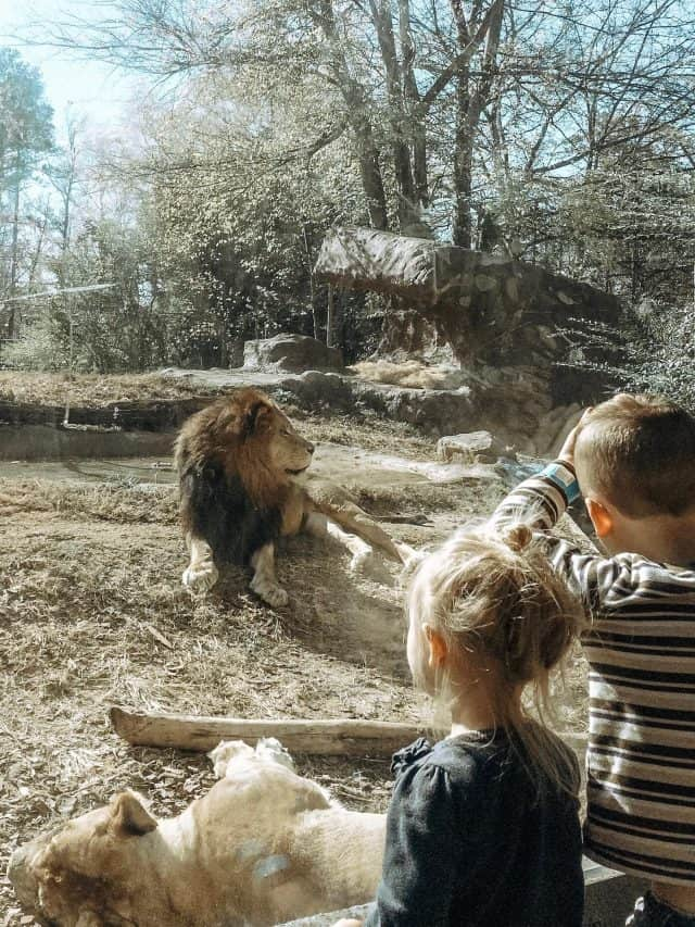 kids watching lions at the zoo through the glass, an everyday adventure with maxi cosi