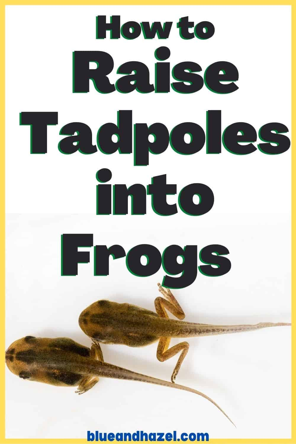 """froglets with legs in a Pinterest image that says, """"How to raise tadpoles into frogs"""""""
