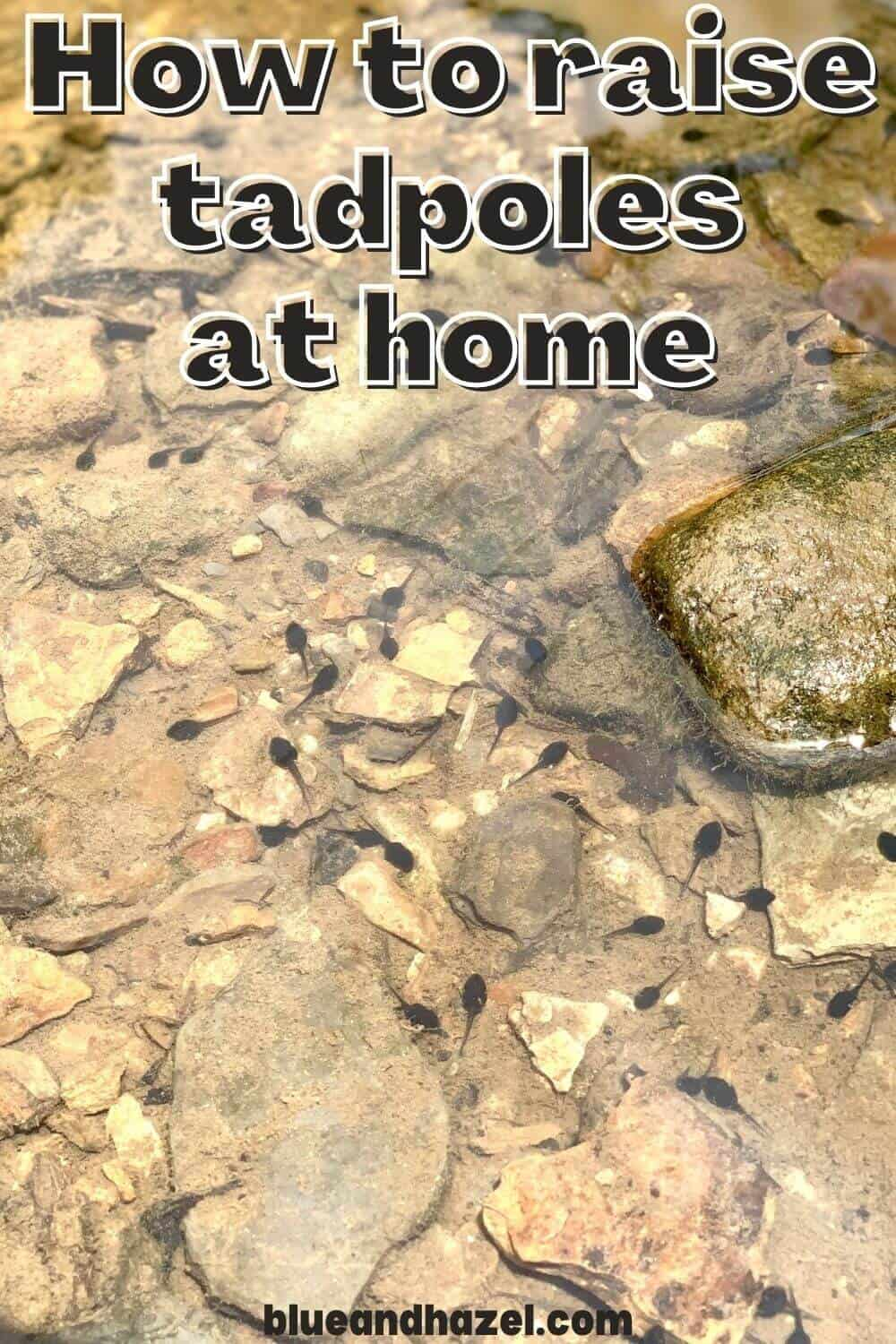 """baby tadpoles in a creek bed with text on photo that says """"How to raise tadpoles at home"""""""