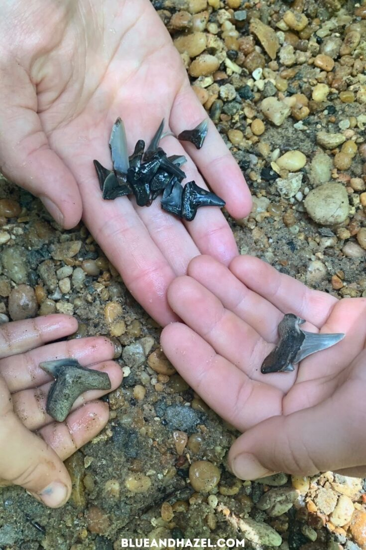 Largest shark teeth we found while on our Shark Tooth Creek tour