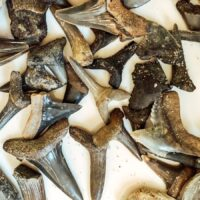 Shark Teeth and fossils found at Shark Tooth Creek